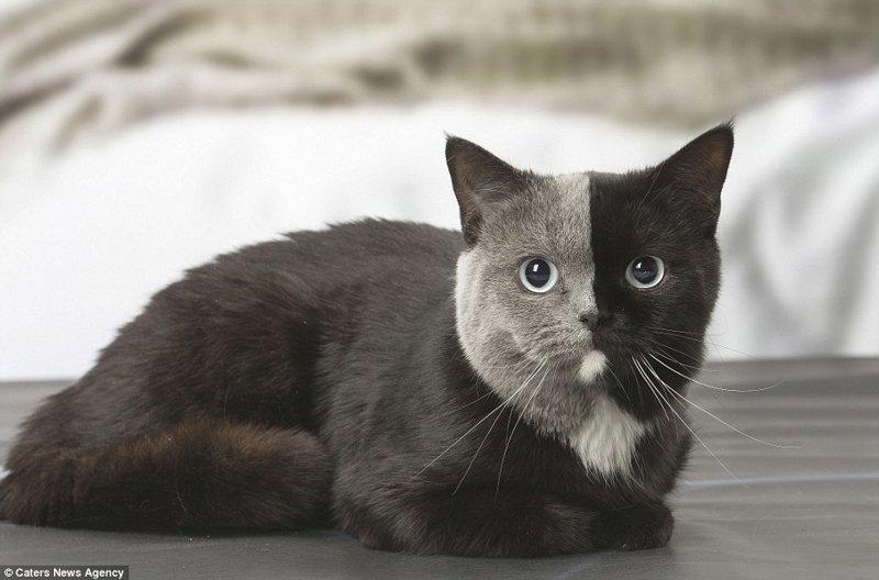 """Новая звезда сети: """"двуликая"""" кошка из Франции с уникальным окрасом в мире, животные, коты, кошка, окрас кошек, уникально, фото, шерсть"""