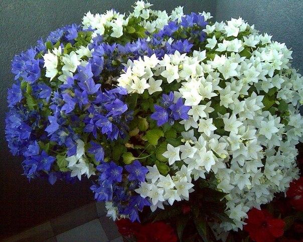 Комнатный цветок жених невеста 50