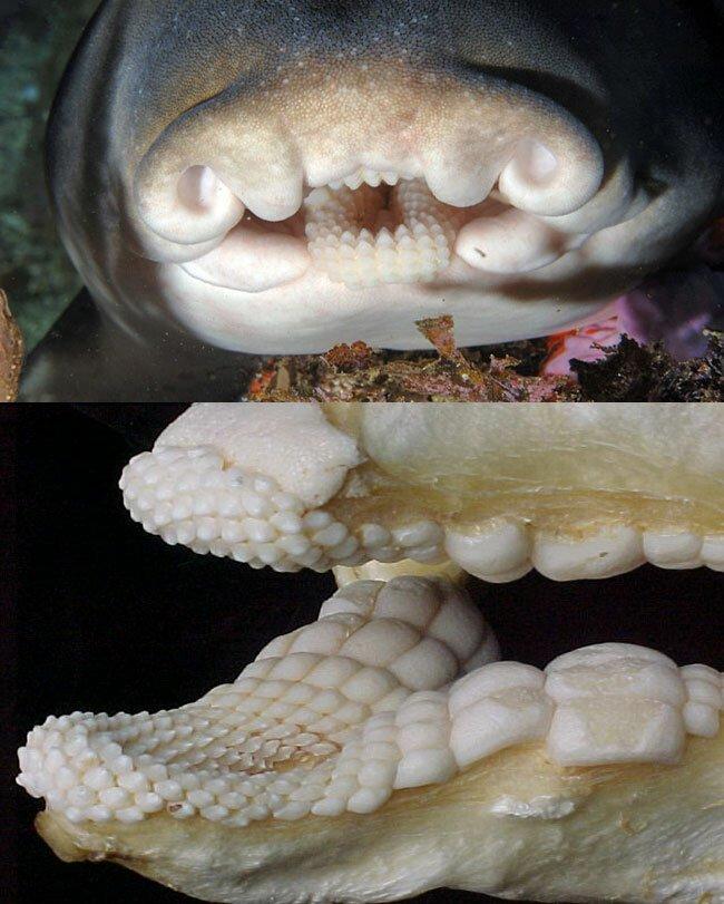 Челюсти австралийской рогатой акулы бывает же такое, животные, интересное, природа, растения, ужасы