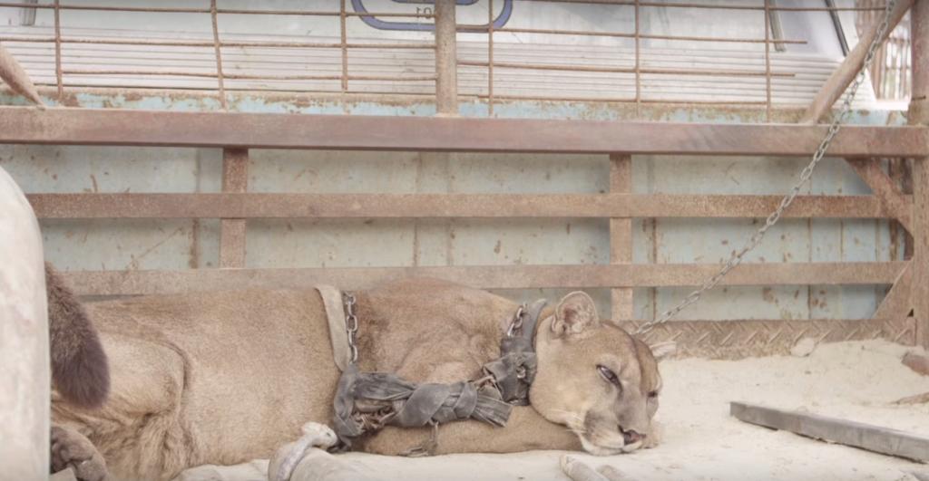 Горный лев был прикован к цепи в течение последних 20 лет