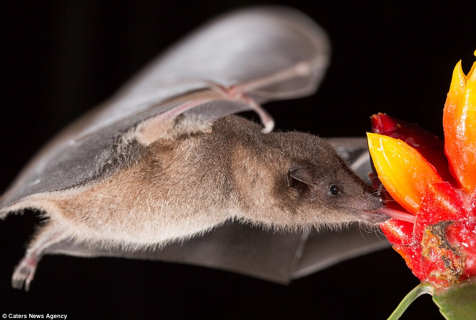 Sweet treat: A bat sucks at the juice in this plant with its tongue in an image you could almost never see with the naked eye