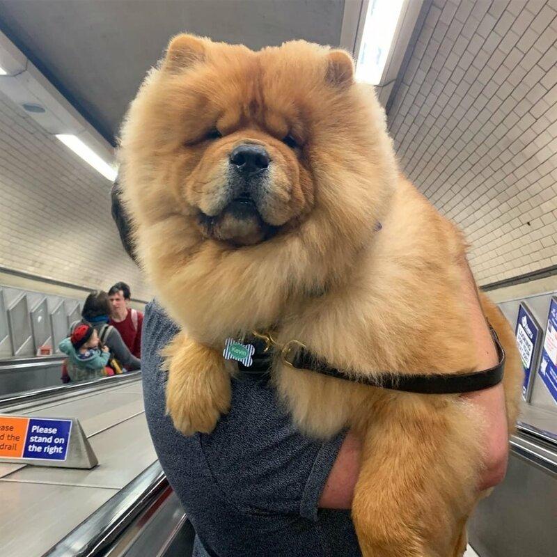 «Ну не пойду же я пешком по этому страшному эскалатору?!» домашний питомец, животные, милота, подборка, собака, фото