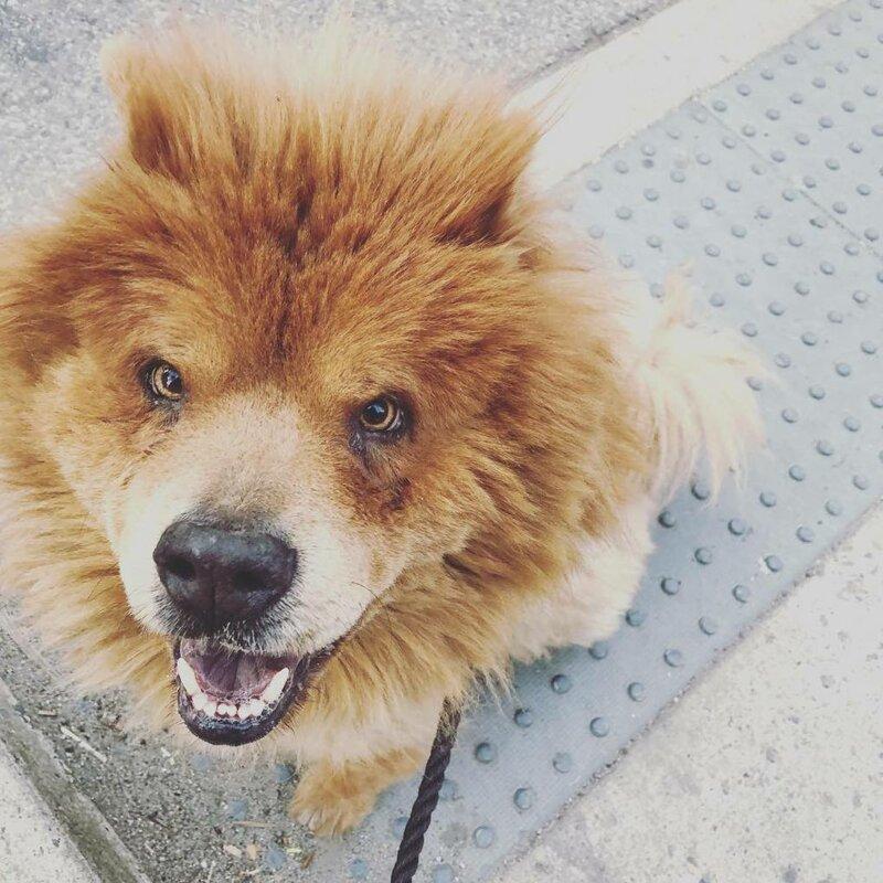 18 фотографий собак породы чау-чау, которых хочется затискать здесь и сейчас