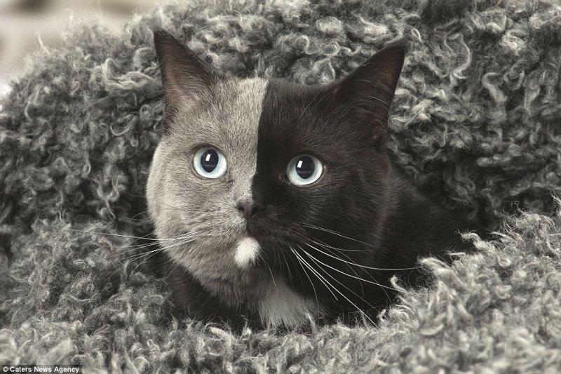 """Цвета шерсти на её мордочке разделены безупречно! За это красавицу назвали """"двуликой"""". в мире, животные, коты, кошка, окрас кошек, уникально, фото, шерсть"""