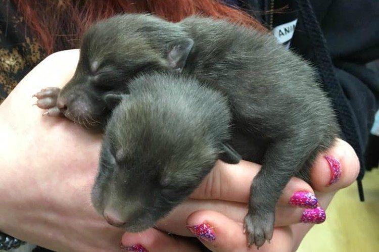 Мужчина думал, что нашел 5 щенят, но оказалось, что их мамой была вовсе не собака