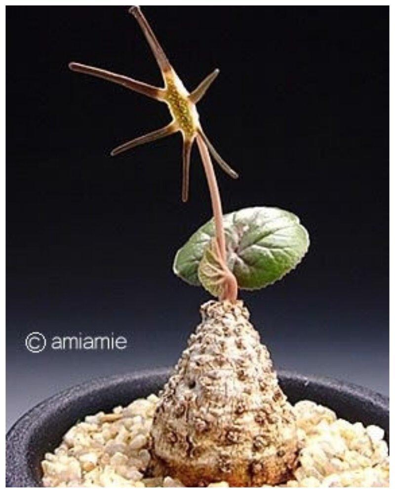 "Euphorbia suzannae-marnierae ""голые"", интересное, красота, природа, растения, факты"