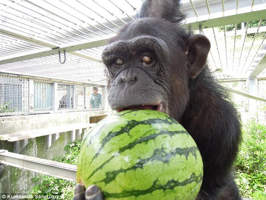 В Японии обнаружили вторую в истории обезьяну с синдромом Дауна