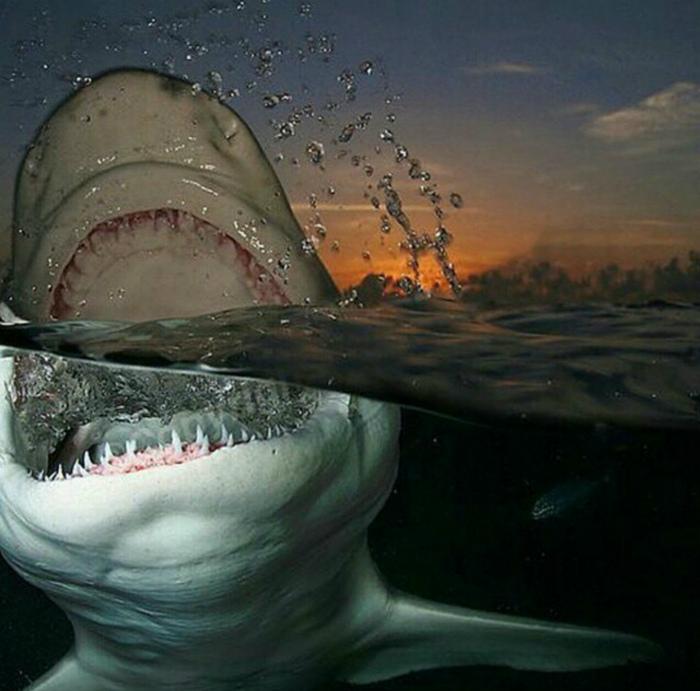 Белая акула.