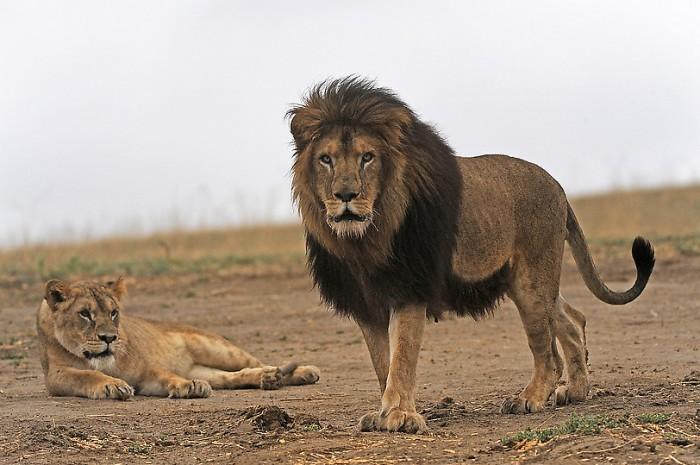 Спасенные львы