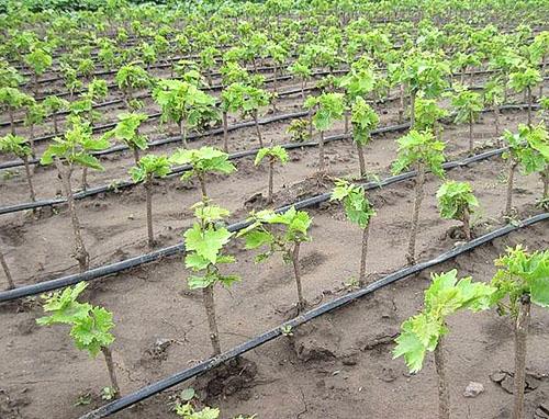 Что делать в первый год посадки винограда