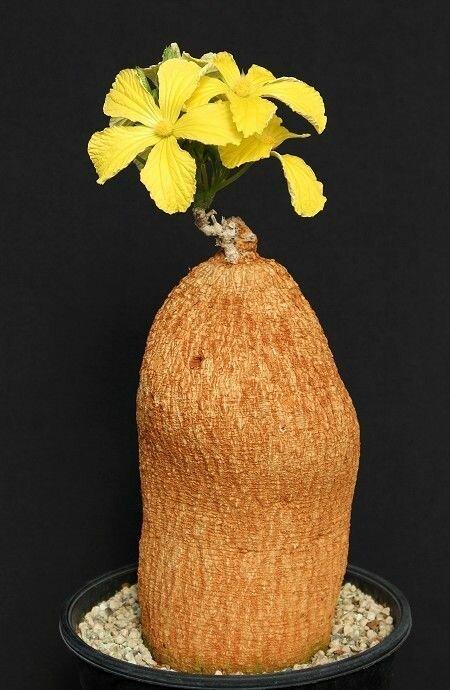 """Coccinia mildbraedii """"голые"""", интересное, красота, природа, растения, факты"""