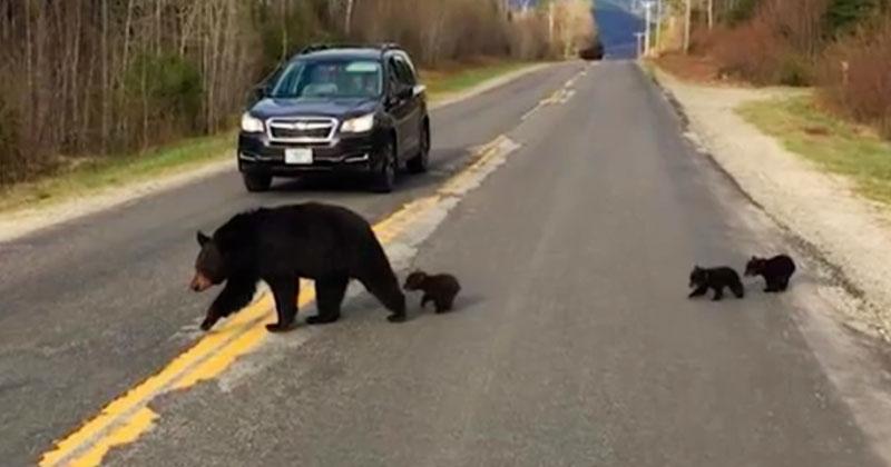 Семья медведей не могла перейти дорогу. Полицейские помогли, и случайно спасли жизнь медвежонку!