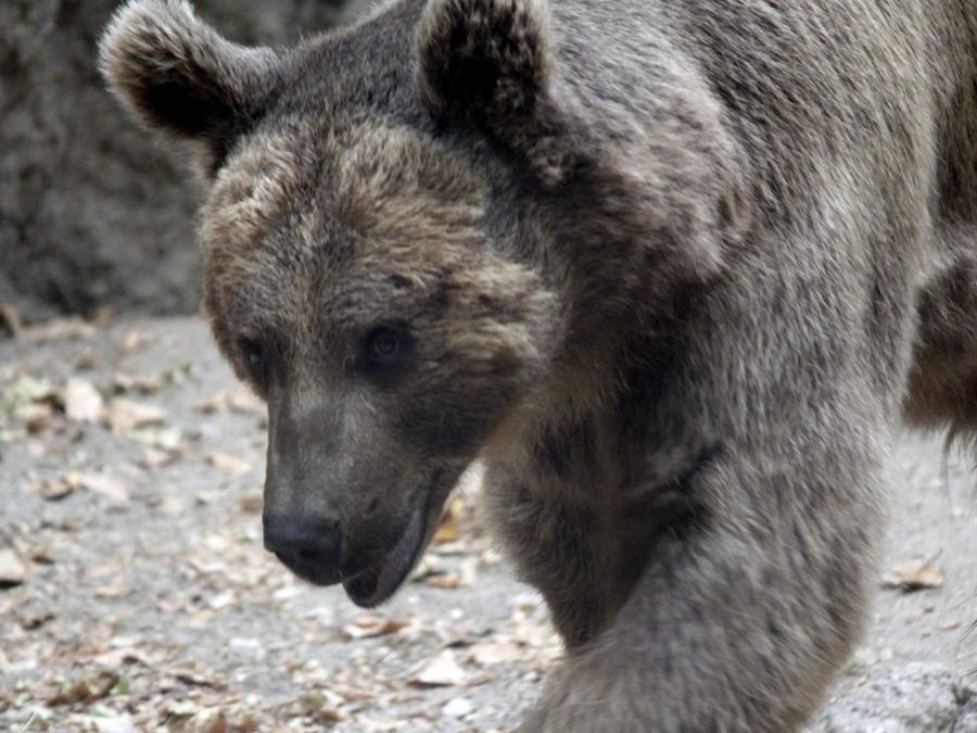 Медведь застрял в автомобиле и посигналил хозяевам