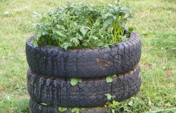 Как правильно вырастить картофель в покрышках: и аккуратно, и места мало занимает