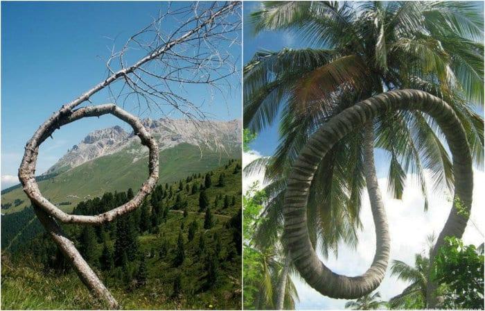 Деревья, которые отстаивают свое право на жизнь.
