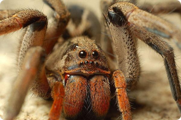 Виды ядовитых пауков