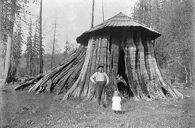 Удивительные старинные фото домов США, расположенных внутри массивных пней