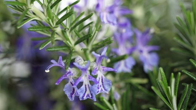 Растения, которые помогут избавиться от комаров