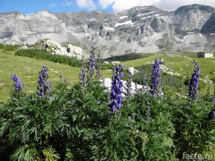 Ядовитые растения, которые можно встретить в России здоровье,природа,растения