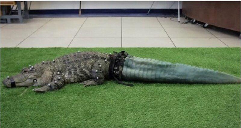 Во время незаконной транспортировки контрабандистами крокодил лишился хвоста, но зоозащитники смогли восстановить хвост на 3D-принтере добро, доброта, животные, люди, поступок, спасение, человечность