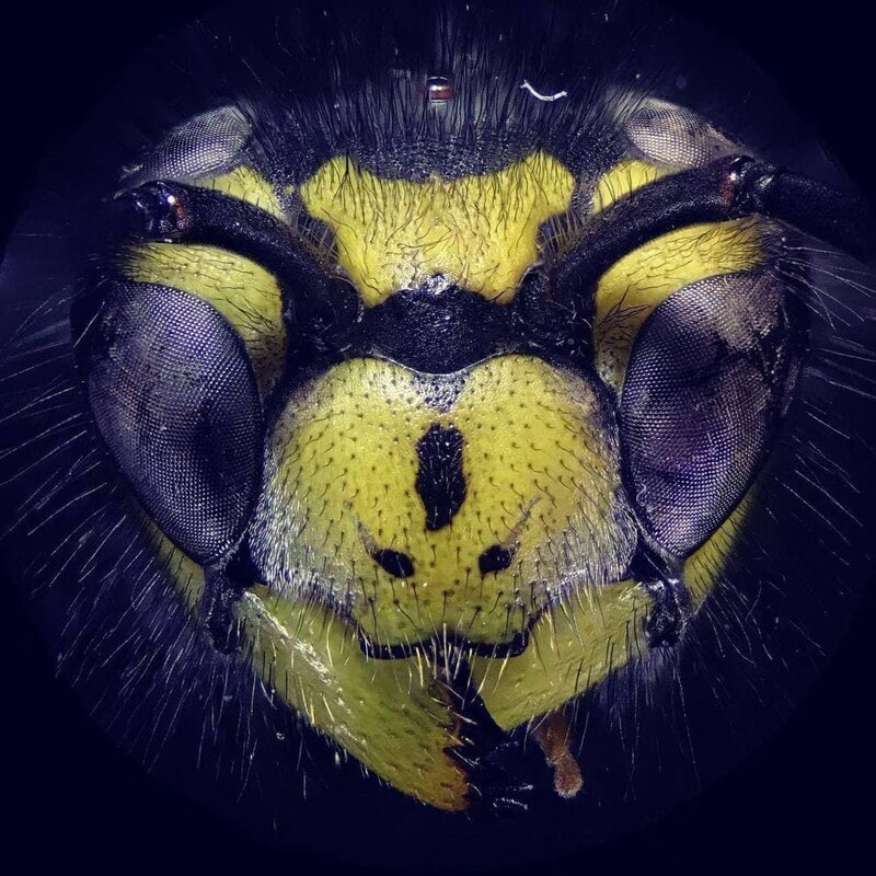 Оса в макросъёмке выглядит ещё более пугающе, чем обычно! в мире, интересно, под микроскопом, познавательно, фото