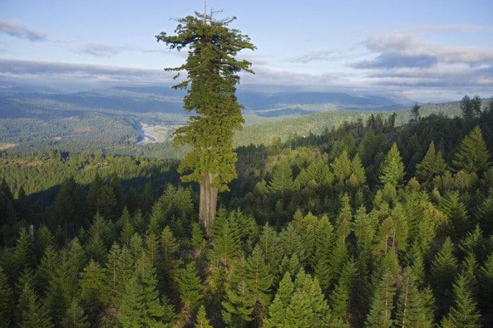 Гигантское дерево Гиперион высотой 115,61 м является самым высоким деревом на планете.