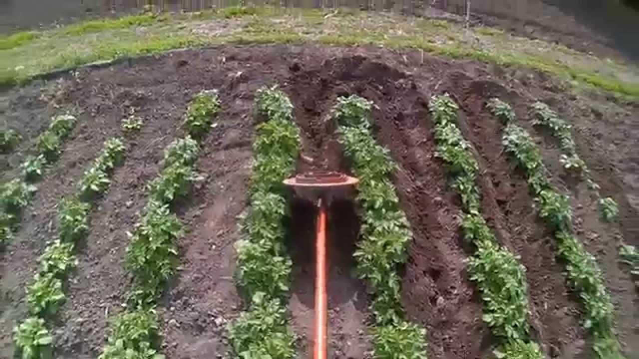 Окучивание картофеля = мартышкин труд, или как потерять 30% урожая