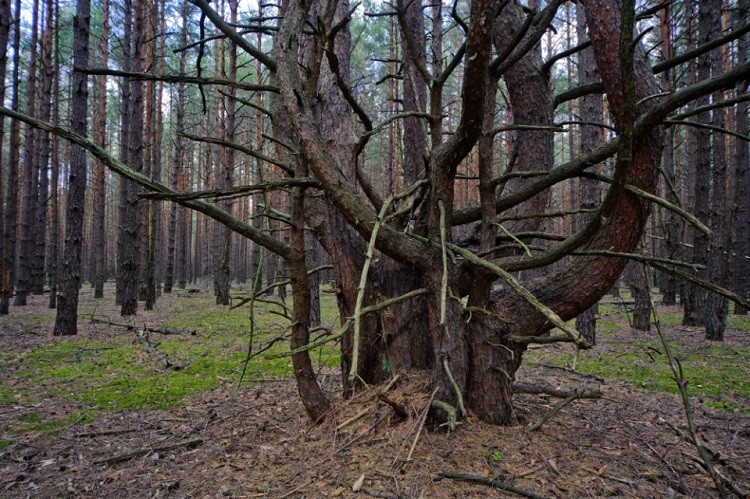 Красный лес Чернобыль, чернобыльская катастрофа