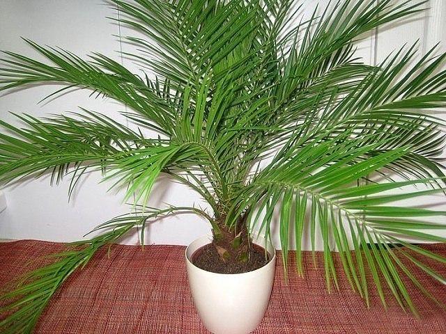 Как вырастить финиковую пальму из косточки? Простая инструкция