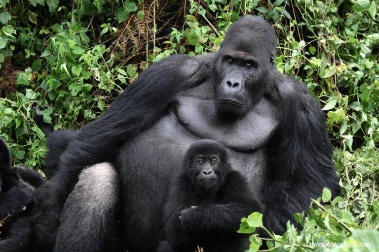 2. Горных горилл, которые помимо Конго обитают еще только в двух странах в Уганде и Руанде. африка, путешествия, экстрим