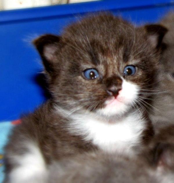 Взяв себе кроху-котенка, он и не подозревал в какого могучего красавца вымахает это чудо через год!
