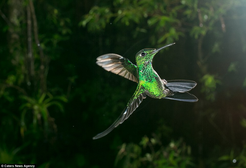 Show off: This bright green hummingbird does tricks in the air, almost as if it is playing up to Mr Reusens and his camera