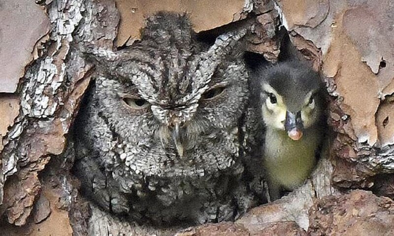 Сова и ее удивительный воспитанник воспитанник, животные, лес, приемыш, птицы, сова, удивительное рядом, утка