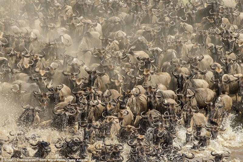 Мигригующие стада антилоп гну переходят через реку Мара. Сильное течение и притаившиеся крокодилы превращают переправу в смертельно опасное мероприятие искусство, конкурс, красота, фото