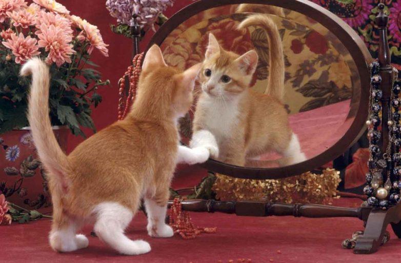 Почему кошки не видят себя в зеркале? Видят ли кошки себя в зеркале Почему кот смотрится в зеркало