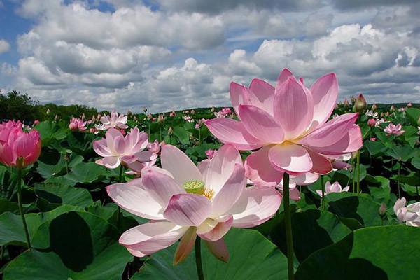 Как цветет лотос Цветение, астрахань, лотос, цветок