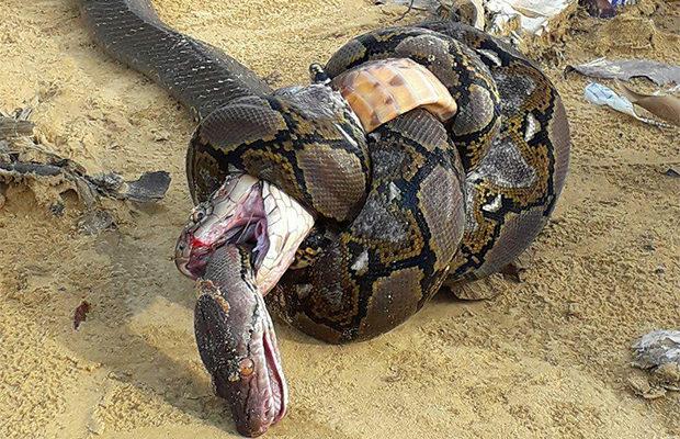 Битва гигантской кобры и питона
