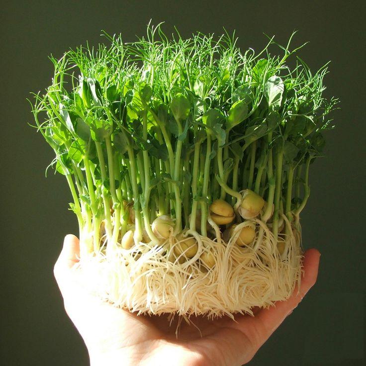 Ростки гороха — полезная и вкусная зелень со своего подоконника