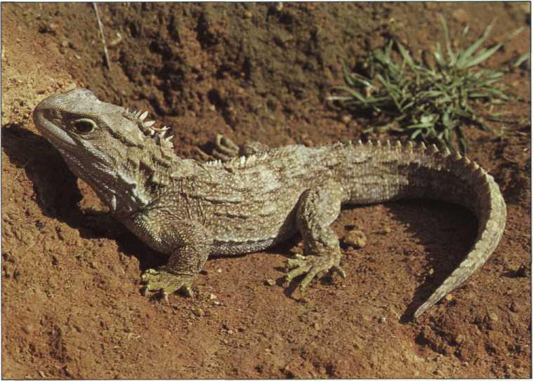 Палеострат: родословная игуан и дагестанский ихтиозавр