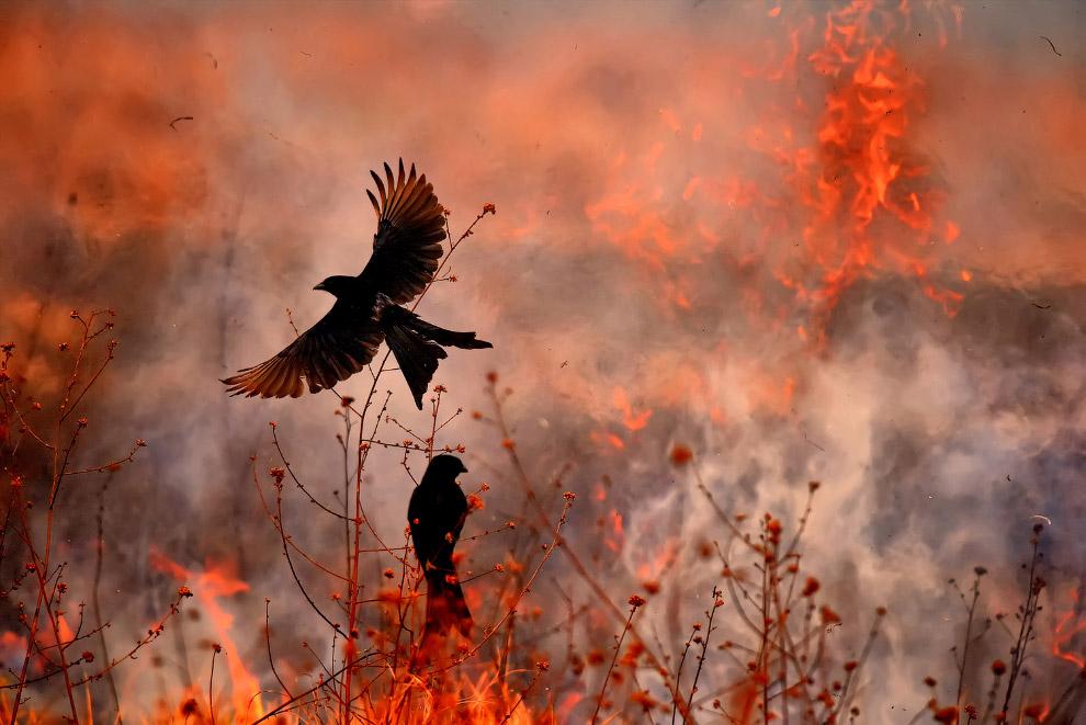 Чёрные дронго и огонь на заднем фоне