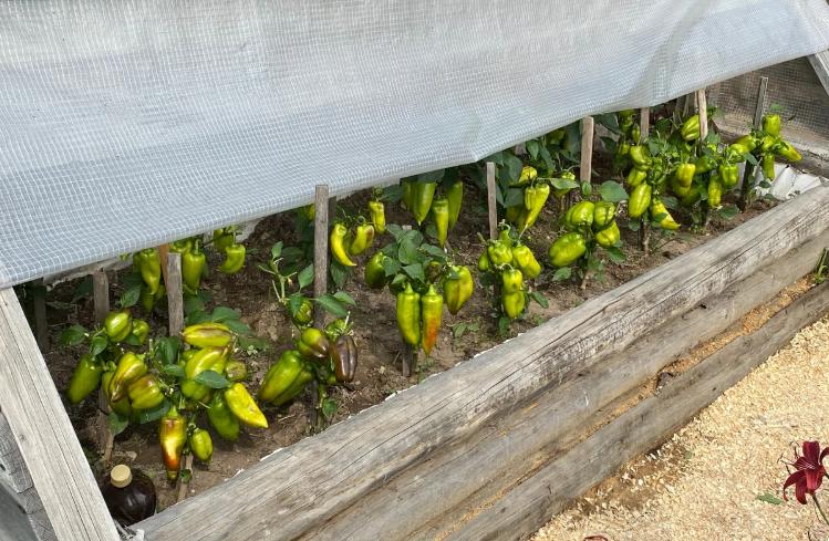 В августе обрываю все листья у перцев и верхушку, чтобы было максимальное плодоношение. Как я это делаю сад и огород,урожай