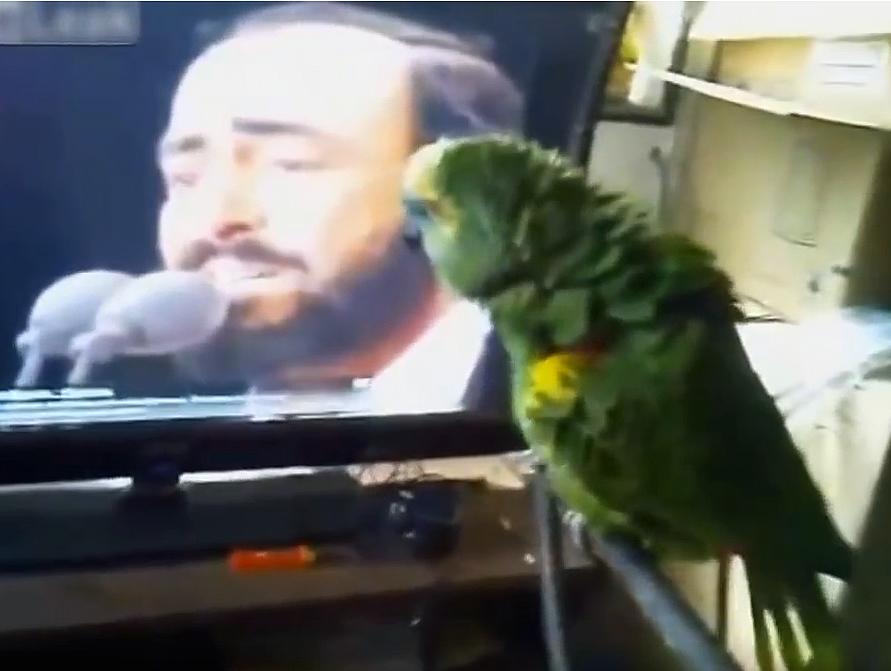 Когда этот попугай увидел видео с Лучано Паваротти - все открыли рты!