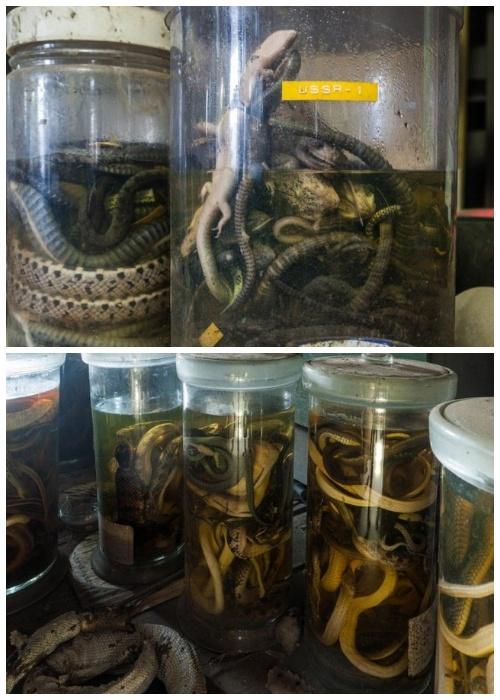 В запаснике Научно-исследовательского института змей хранилось огромное количество экспонатов и подопытных особей (Япония).