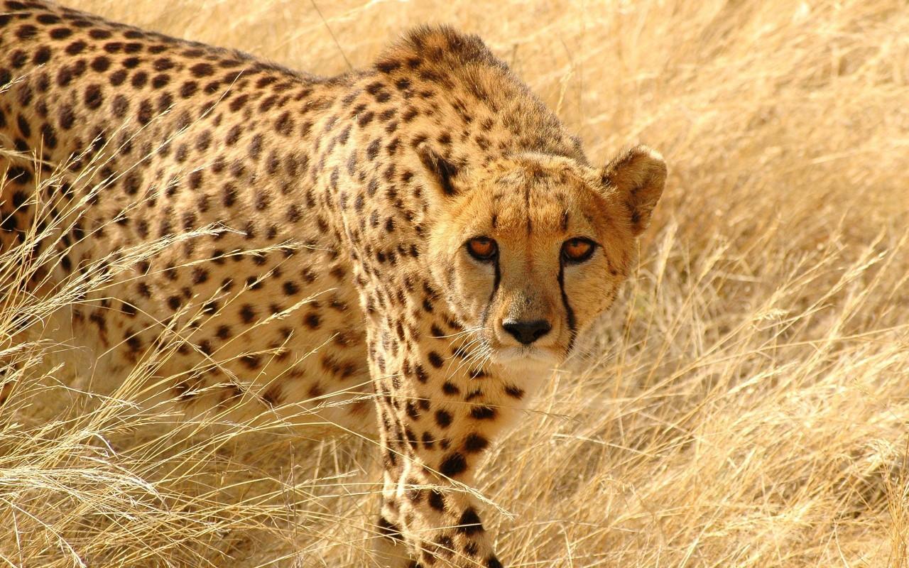Четыре гепарда атаковали самку, зашедшую на их территорию