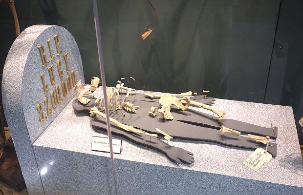 Австралопитек Люси могла погибнуть, упав с дерева
