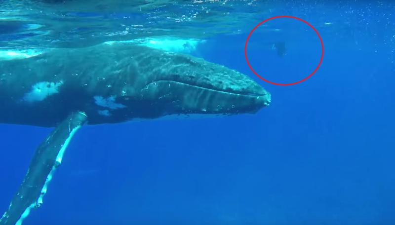 Удивительный случай! Горбатый кит спас женщину от акулы