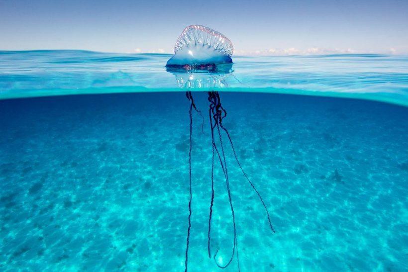 Захватывающее зрелище: дрон заснял огромную сифонофору у берегов Австралии природа,Путешествия,фото