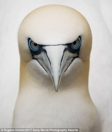 Северная олуша - морская птица, живущая на побережье Шотландии искусство, конкурс, красота, фото