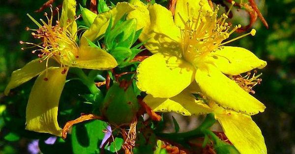 Зверобой — растение долгожителей!
