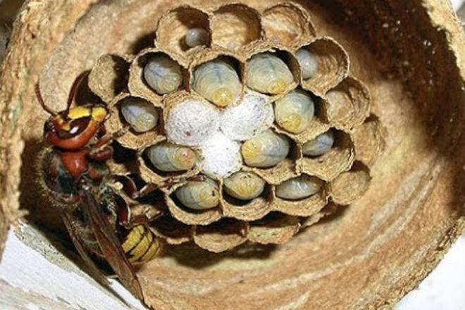 Как шершни строят себе гнезда